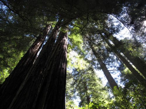 Some redwoods are 2000 years old.