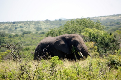 Tusker in the elephant grass.