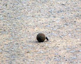 The iconic dung beetle, rolling his ball of poo.