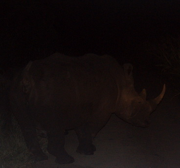 Lousy picture of White Rhino taking his time ahead of us.