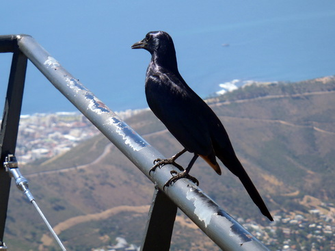 Red-tipped black bird, Table Mountain variety. So I'm calling it.