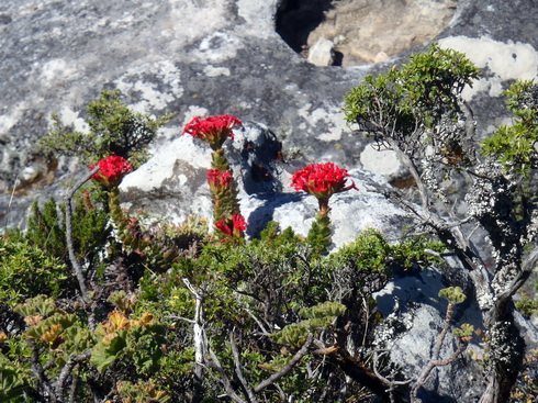 Table Mountain wild flowers.