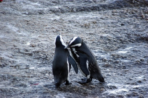 Cape penguins in Simons Town.