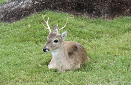 No doubt a species of Uruguayan deer. There was a zoo in the countryside.