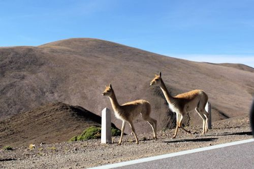 Vicuna. They make great fur coats but they don't like being skinned. Sorry boys.